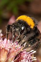 Helle Erdhummel, Portrait mit Saugrüssel, Weißschwanz-Erdhummel, Weißschwanz Erdhummel, Bombus lucorum, Blütenbestäubung, Nektarsuche, Blütenbesuch an Pestwurz, white-tailed bumble bee