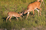 White-tailed buck (Odocoileus virginianus) investigating a fawn.  Summer.  Winter, WI.