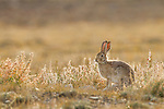 Tolai Hare (Lepus tolai), Sarychat-Ertash Strict Nature Reserve, Tien Shan Mountains, eastern Kyrgyzstan