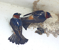 Two cliff swallows building nest
