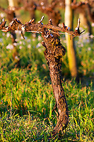 A vine trained in Cordon Royat with the winter pruning cuts painted white to prevent diseases and infections. Bodega Carlos Pizzorno Winery, Canelon Chico, Canelones, Uruguay, South America