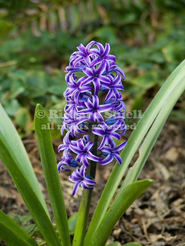 Blue Dutch Hyacinth, Hyacinthus orientalis