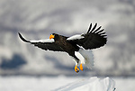 Steller s Sea Eagle, Haliaeetus pelagicus, in flight, flying, coming in to land on sea pack ice, Okhotsk Sea, Rausu, Hokkaido, Japan, japanese, Asian, wilderness, wild, untamed, photography, ornithology, snow, bird of prey, Vulnerable.Japan....