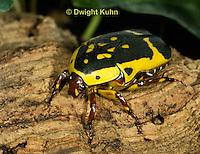 1C37-525z  Pachnoda Flower Beetle, Pachnoda flaviventris, Africa