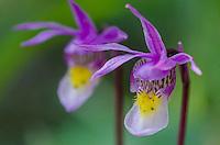 Calypso Orchid or Fairyslipper (Calypso bulbosa) wildflower.  Northern U.S. Rocky Mountains.  June.