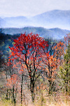 Red tree in spring in the Smoky Mountains National Park, Tennessee