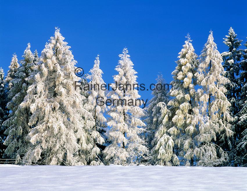 DEU, Bayern, Oberbayern, Berchtesgadener Land, Winterlandschaft - verschneite Tannen   DEU, Bavaria, Upper Bavaria, Berchtesgadener Land, Winter scenery - snow covered firs