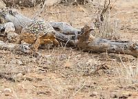 Leopard Tortoise Walking  Kenya 2015