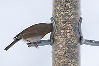 Rotkehlchen, an der Futtersäule mit Körnerfutter, Vogelfütterung, Winterfütterung, Erithacus rubecula, robin, European robin, robin redbreast, feeding birds, Le Rouge-gorge familier