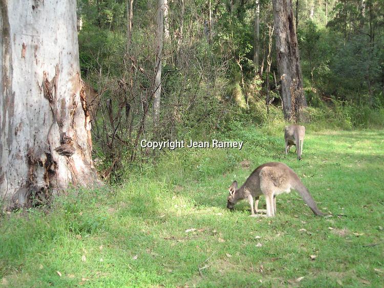Wild kangaroo, Australia