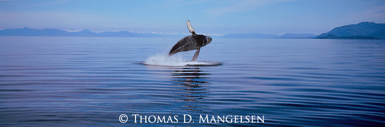 Humpback whales are recognized by their long flippers and small dorsal fin as they breach the cold waters of Frederick Sound in Southeastern Alaska.