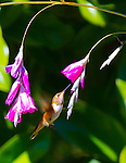 A Rufous Hummingbird (Selasphorus rufus) is in flight approaching the pink flower bloosoms of a Fairy Wand (Dierama pulcherrimum) aka Angel's Fishing Rods on a bright, sunny day