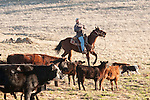 Gathering the cattle with the Dell'Orto outfit, Goodell Ranch, Paloma, Calif.