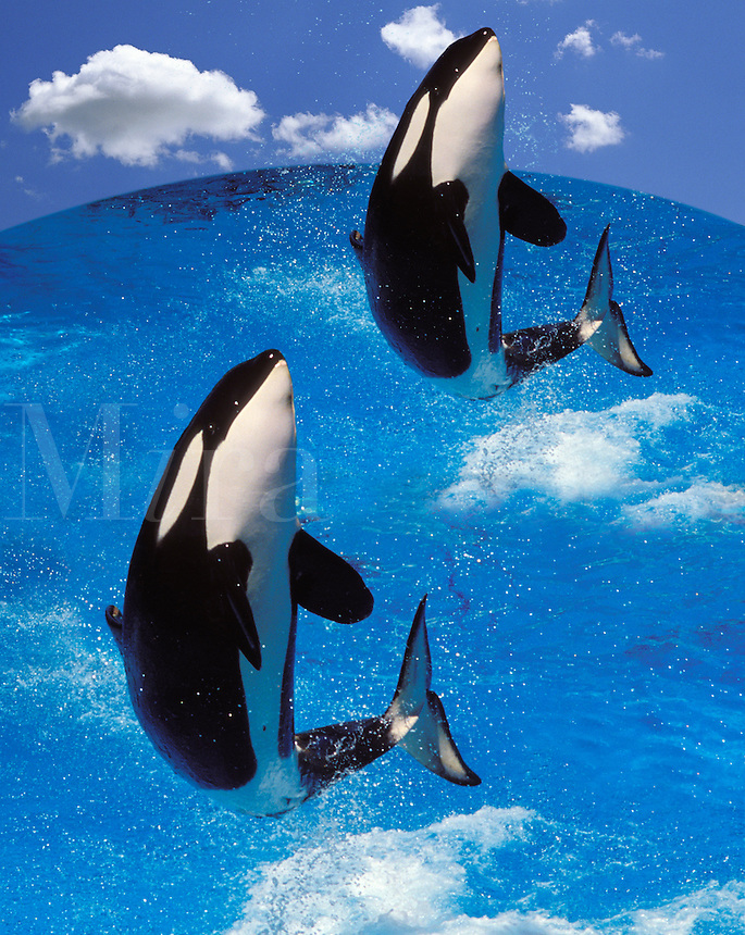 Killer whales, digital composite