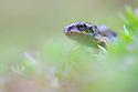 Juvenile Common Frog {Rana temporaria}. Peak District National Park, Derbyshire, UK. September.