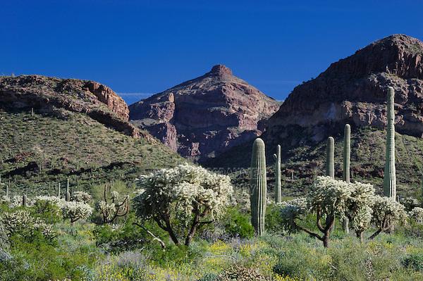 Desert with Saguaro Cactus (Carnegiea gigantea), Teddy Bear Cholla Cactus (Opuntia bigelovii), Organ Pipe Cactus National Monument, Arizona, USA