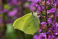 Zitronenfalter, Zitronen-Falter, Männchen, Blütenbesuch an Blut-Weiderich, Gonepteryx rhamni, brimstone, brimstone butterfly, male, Le Citron