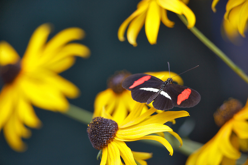 Postman butterfly (Heliconius erato). Portland Oregon Zoo