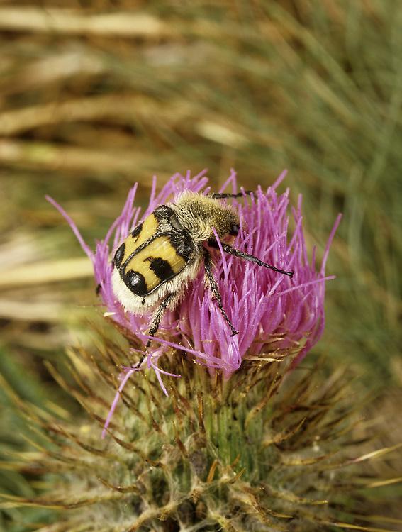 Bee Beetle - Trichius fasciatus