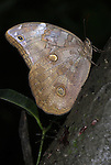 Coastal Owlet Butterfly, Opsiphanes invirae cuspidatus, on trunk of tree in forest, Manu, Peru, Amazon jungle, brown patterns, owl,. .South America....