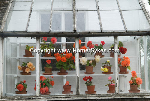 Country cottage in Oxfordshire with greenhouse flower display. Uk   A lovely display of large-flowered tuberous begonias. Sometimes called Camellia or Camellia flowered begonia.