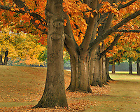 Red oaks at Fernhill Park in Portland Oregon
