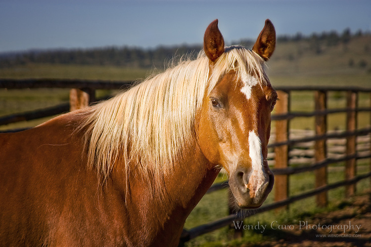 Sorrel pony with flexen mane, named Cricket, standing by a fence, eastern Oregon.