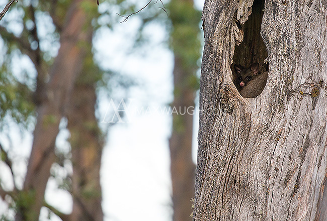 Common brushtail possums are often seen at night in places like Tasmania.  I was fortunate to find a pair denning in this tree one afternoon.