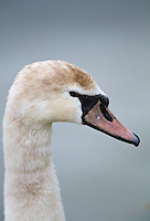 Juvenile Swan at the Wildfowl and Wetlands Trust, Slimbridge in Gloucestershire, United Kingdom