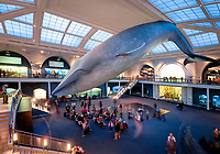 model of a blue whale, Balaenoptera musculus, Hall of Ocean Life, American Museum of Natural History, Manhattan, New York, USA, North America