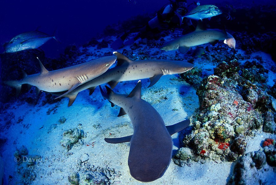 A group of whitetip reef sharks,  Triaenodon obesus, with blue jacks and a diver (MR) Hawaii.
