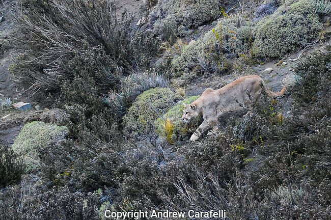A puma stalks guanacos in Torres Del Paine, Patagonian Chile.