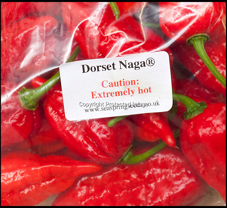 BNPS.co.uk (01202 558833)<br /> LauraJones/BNPS<br /> <br /> Red hot record...<br /> <br /> Tree of fire turns into pot of gold - Dorset Chilli farmer Joy Michaud is hoping she has set a new world record after collecting an astonshing 2407 chilli's from one bush at the weekend.<br /> <br /> Its been a bumper year for chilli's and farmer Joy Michaud has grown a 'tree of fire' with over two thousand of the worlds hottest on it.<br /> <br /> The average chilli 's heat is measured at 30,000 scovell's but the legendary Dorset Naga has been measured at 1.2 million scovel's.<br /> <br /> With that in mind great care has to be taken when handling the explosive crop.<br /> <br /> Joy said 'growing conditions have been perfect this year and  I have never seen a chilli tree this big before, its astonishing.'