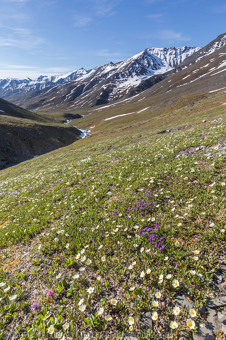 Mountain avens, purple oxytrope blossoms on the tundra in the Brooks Range mountains, Gates of the Arctic National Park, Alaska