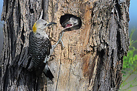 Golden-fronted Woodpecker feeding young, San Angelo State Park