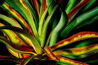 Colorful leaves of pinapple plant. Island of Hawaii, The Big Island