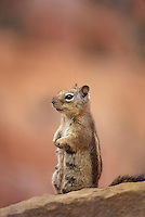 679220009 a wild nursing female golden-mantled ground squirrel spermophilus lateralis sits on a rocky ledge in bryce canyon national park utah united states