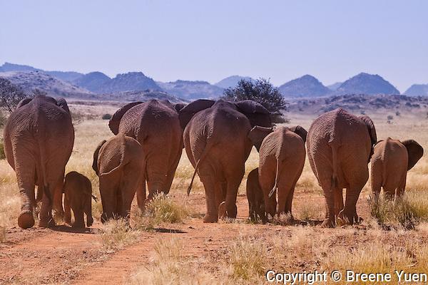 Rear view of a Desert Elephant family walking onto its next destnation