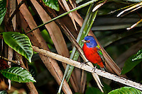 Male Painted Bunting in a palm tree in Florida