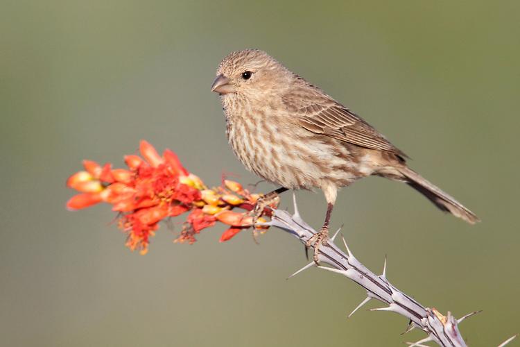 House Finch - Carpodacus mexicanus - female