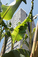 A banana tree at the Huerto Tlatelolco, Urban vegetable garden at the 60s modernist urban housing development Nonoalco Tlatelolco,  Mexico City, Mexico