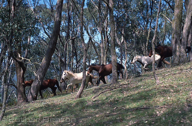 Brumbies (wild horses) racing downhill, Snowy Mountains, Victoria.