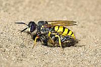 Bee Wolf Wasp - Philanthus triangulum with Honey Bee prey