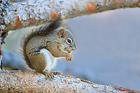 American Red Squirrel (Tamiasciurus hudsonicus) eating a pinecone in Rocky Mountain National Park, Colorado.