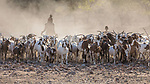The Himba Herd Their Goats Into Camp For The Night.