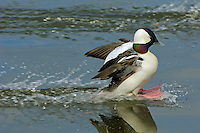 Bufflehead duck drake (Bucephala albeola) landing on lake.  Pacific Northwest.
