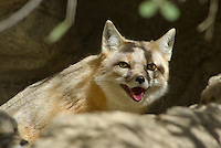 Swift Fox (Vulpes Velox).  Central North American prairies.