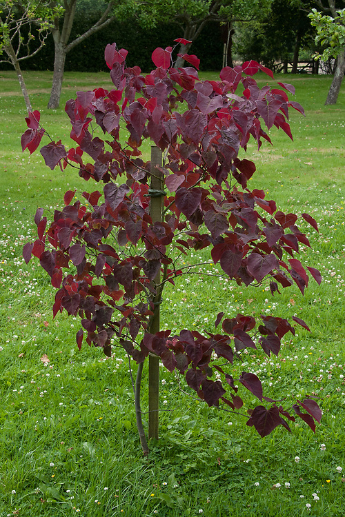 Cercis canadensis 'Forest Pansy', late June.