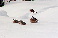 GAMBELS QUAIL TAKING TO WING IN THE SNOW