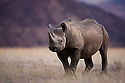 Namibia;  Namib Desert, black rhinoceros (Diceros bicornis) near Huab River, highly endangered